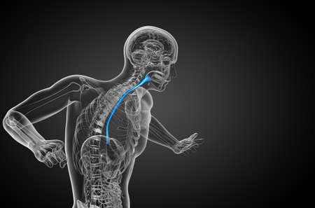 3d rendered illustration of the esophagus - side view