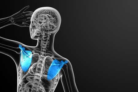 3d render medical illustration of the scapula bone - back view