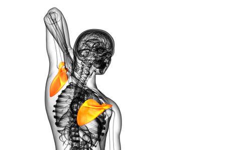 3d render medical illustration of the scapula bone - side view Standard-Bild