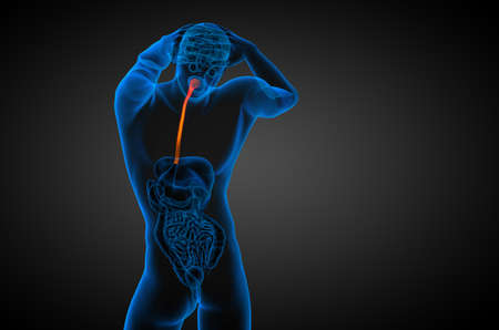 3d rendered illustration of the esophagus - back view
