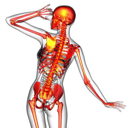 3D medical illustration of the human skeleton - back view