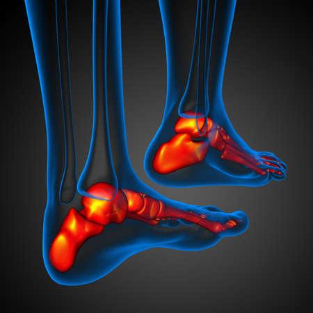 3d rendered illustration of the foot bone - back view Imagens