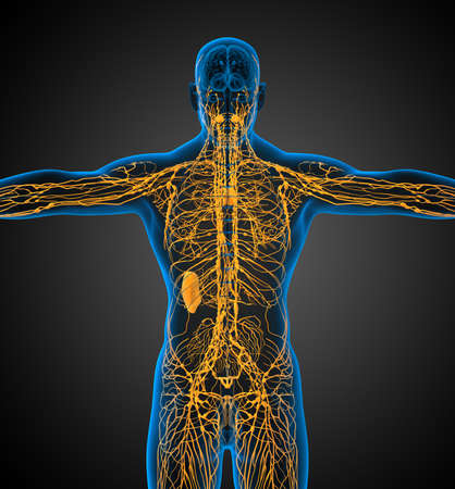 3d render medical illustration of the lymphatic system - back view