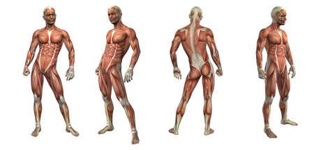 3d render illustration of the muscular system Stockfoto