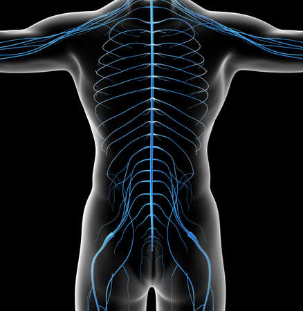 3d rendered illustration of the male nervous system - back view