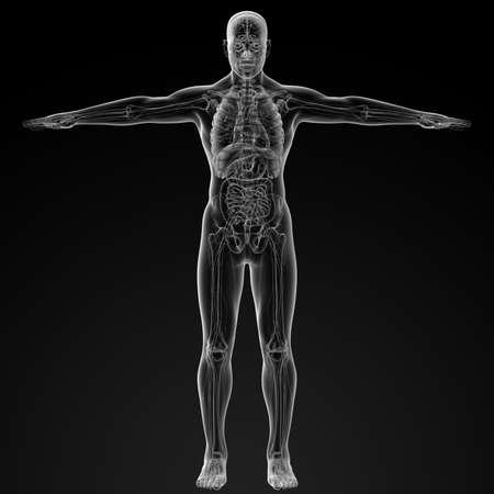 3d render illustration of the human anatomy - front view