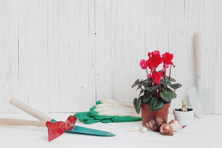Garden tools and red cyclamen on white wooden background