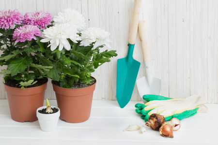 Garden tools and chrysanthemum on white wooden background Stock Photo