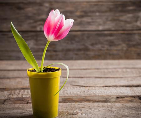 germinación: tulipán rosa en maceta amarilla sobre fondo de madera Foto de archivo