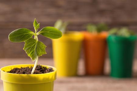 turba: Plantas jóvenes en macetas sobre fondo de madera