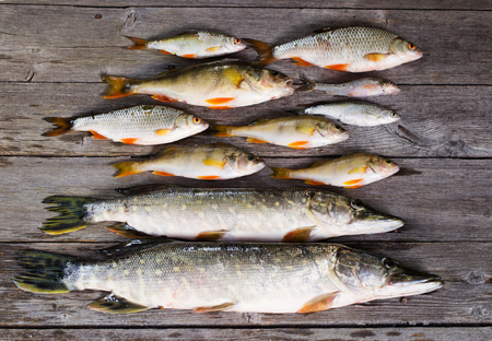 silver perch: river fish on wooden background
