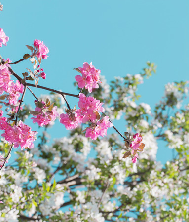 blossom apple trees on background sky Stock Photo