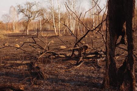 spunk: Burned birch forest
