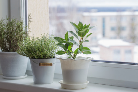 green plants on the windowsill in winter 版權商用圖片 - 96436501