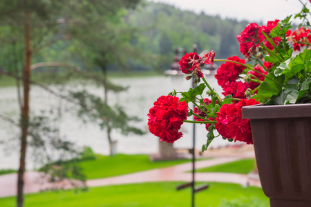 red geranium in pots on background lakes