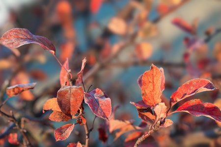 beautuful apple autumn leaves in frost