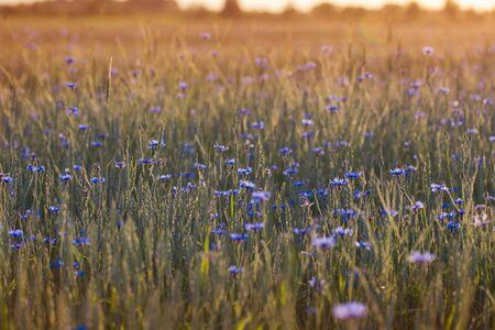 blue cornflowers in wheat field on  sunset 스톡 콘텐츠