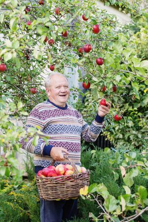happy elderly men with red apples in orchard 스톡 콘텐츠