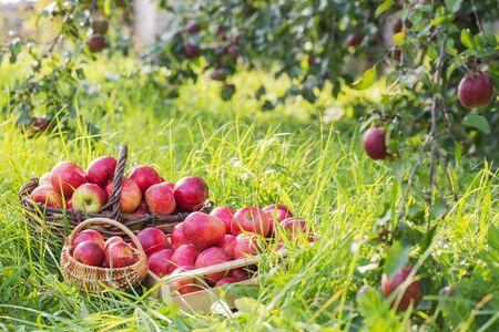 red apples on green grass in summer orchard Standard-Bild