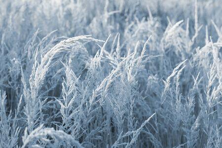 beautiful wild grass in frost in sunlight