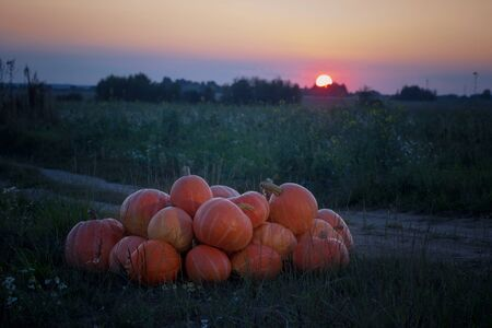orange pumpkins on rural field at sunset Stok Fotoğraf