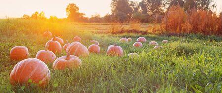 field with orange pumpkins at sunset