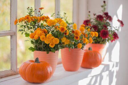 chrysanthemums and pumpkins on old white windowsill 版權商用圖片