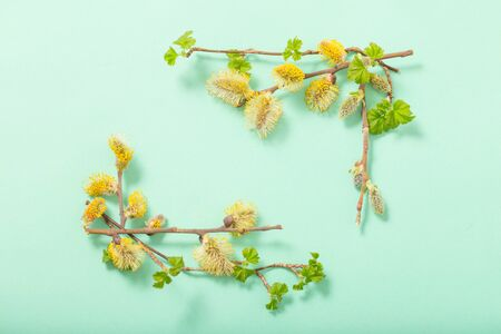 branches of flowering willow on  green background