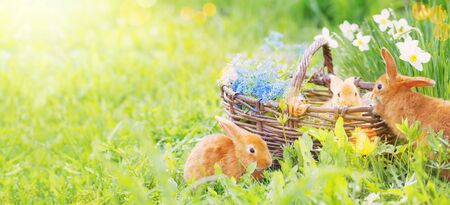 Little rabbits in basket with flowers on grass outdoor. Holiday Easter concept Stock Photo - 135564095