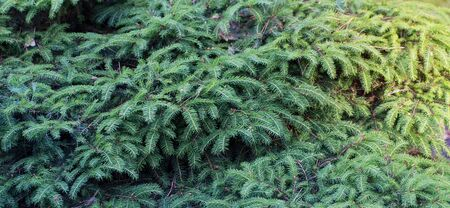 background of conifer branches closeup
