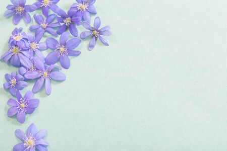 spring violet flowers on green background