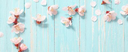 pink cherry flowers on blue wooden background