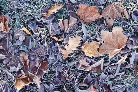 background with autumnal frozen leaves
