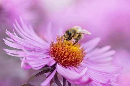 bee on pink flowers close up