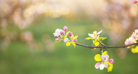pink and white apple flowers in sunlight outdoor