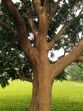beautiful brown tree trunk withgreen leaves and greenish background in asansol,west bengal