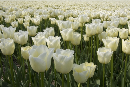 Field of white tulips photo