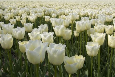 Field of white tulips Stock Photo - 15417087