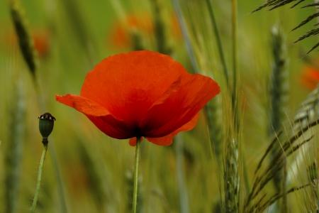 Beautiful poppy photo