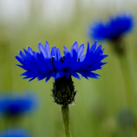 Corn flower photo