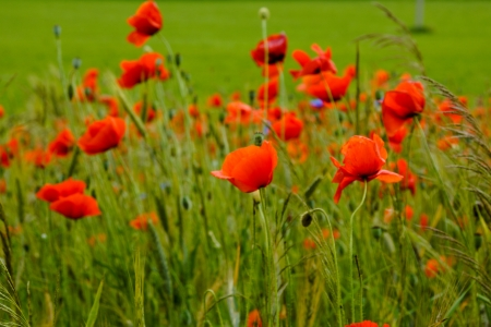 Group of poppies photo