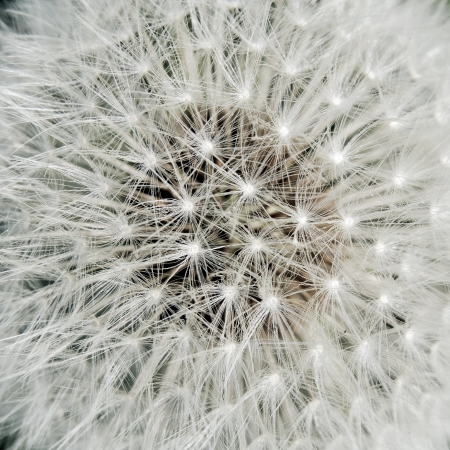 Heart of a dandelion photo