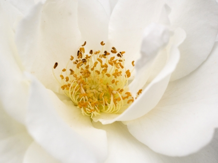 Heart of a white rose photo