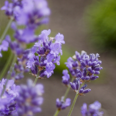 Lavenderclose up photo