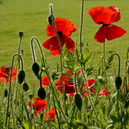 poppy seeds: Poppies