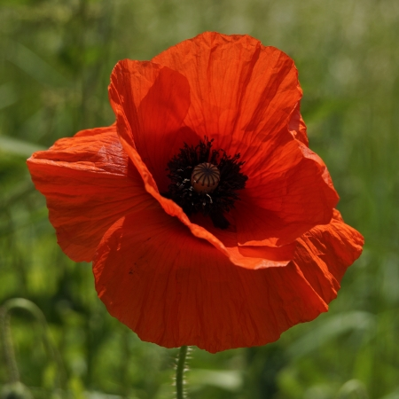 red poppies on green field: Poppy standing alone