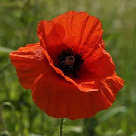 poppy seed: Poppy standing alone