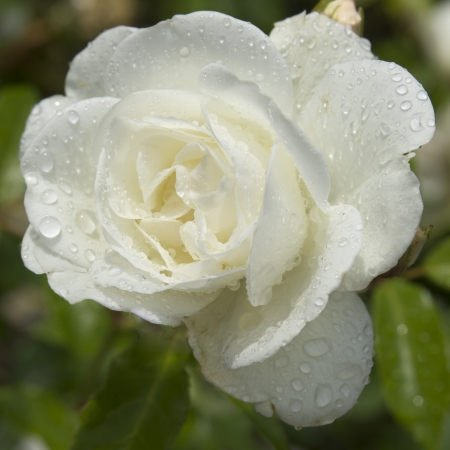 White rose with raindrops photo