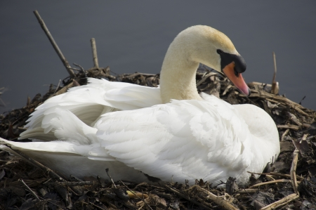 brooding: Swan brooding on nest