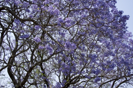 Jacaranda tree photo